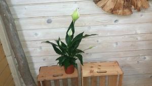 Spatifilum (Spathiphyllum)
