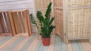 Zamija (Zamiaceae)