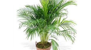 Areka palma (Dypsis lutenses)